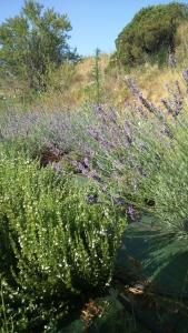 les plantes medicinals i aromàtiques: espígol i romaní
