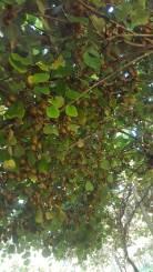 kiwis a l'arbre